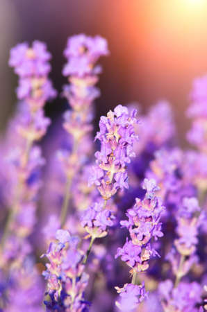 Lavender flowers for aromatherapy on the background of the setting sun. Natural flower arrangement