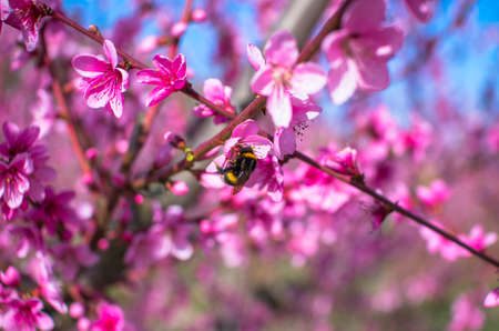 The bumblebee sits on a peach flower on a sunny warm spring evening. Natural composition
