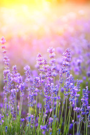 Lavender field during flowering at sunset. Natural flower composition 免版税图像