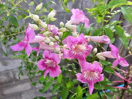 Beautiful flowers of Podranea ricasoliana in a mediterranean garden.