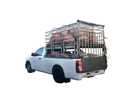 Basic style of a pick up car fully carried a pigs to delivery to the slaughterhouse, isolated on white background.