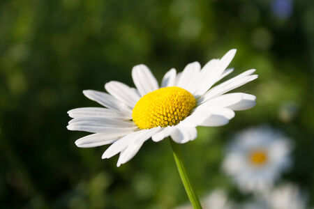 white daisy: Beautiful daisy in full bloom in the spring