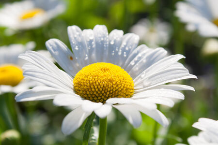 oxeye: Beautiful daisy in full bloom in the spring