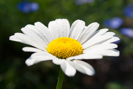 Beautiful daisy in full bloom in the spring photo