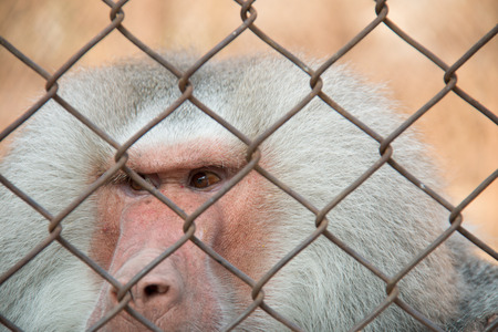 Baboon in the zoo cage photo
