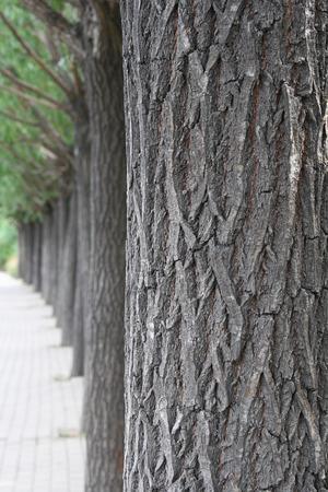 Willow tree photo