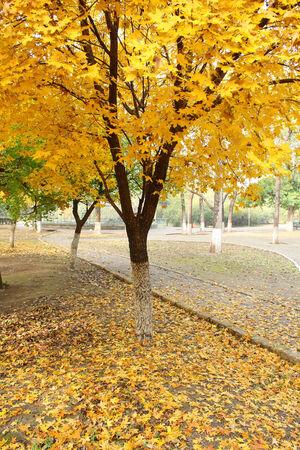 Maple Tree photo