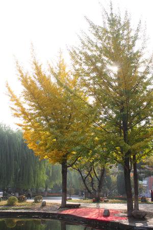 ginkgo tree: Ginkgo tree Stock Photo