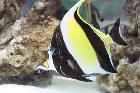exoticism saltwater fish: Ornamental fish Stock Photo