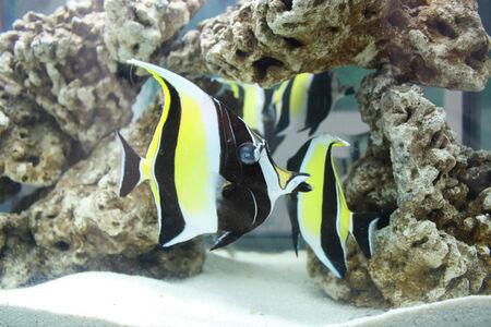 ornamental fish: I pesci ornamentali Archivio Fotografico