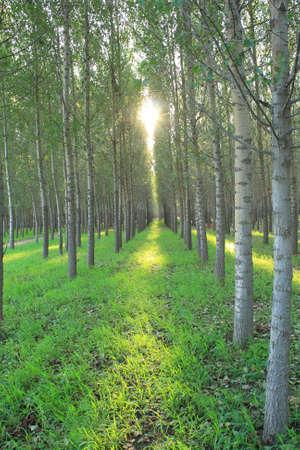 poplars: Rows of poplars Stock Photo