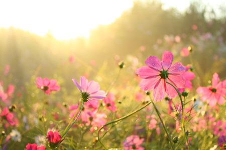Pink Cosmos photo