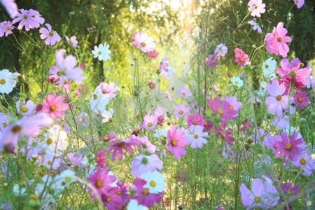 cosmos flowers: Pink Cosmos