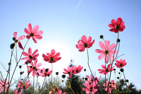 Pink Cosmos photo