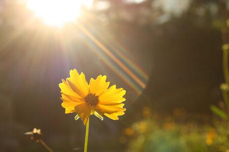 Yellow Chrysanthemum photo