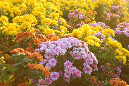Chrysanthemums photo