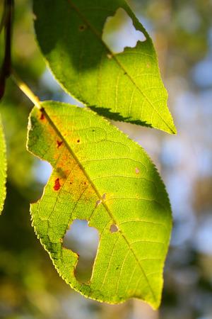 diseased: Leaves