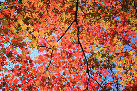 Autumn maple leaves photo