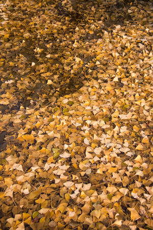 ginkgo leaf: ginkgo leaf in the water Stock Photo
