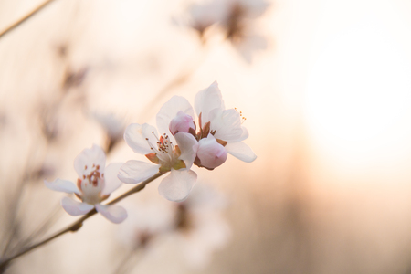 Peach blossoms in spring