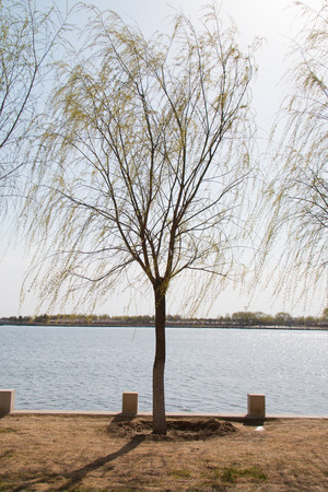 weeping willow: Weeping willow tree in the park