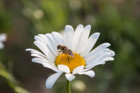 bee on flower: Bee on white daisy flower