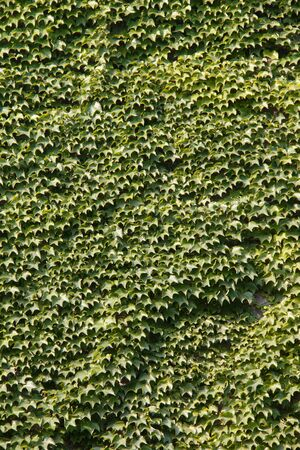 ivy wall: Green ivy wall background