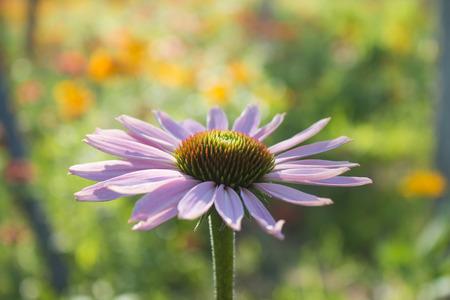 pink daisy: pink daisy Stock Photo