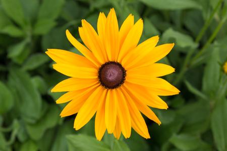 bright eyed: Close-up black eye daisy