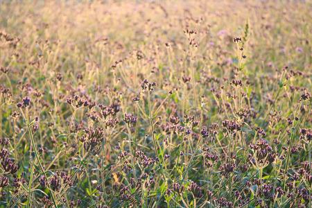 color: Verbena