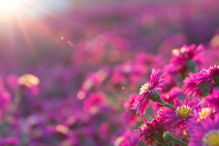 pink daisy Imagens