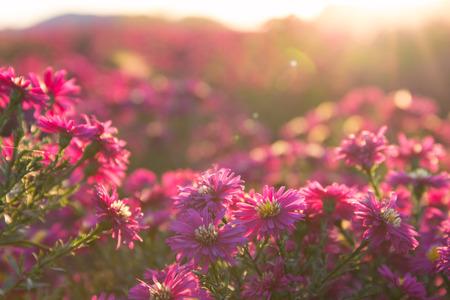 roze daisy Stockfoto