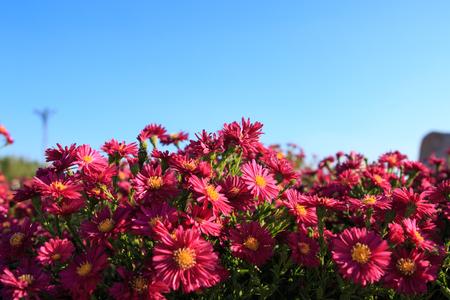 campo de flores: rosa margarita Foto de archivo