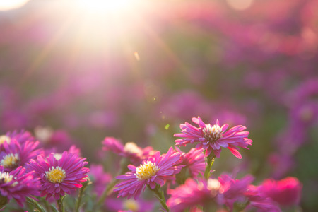 field of flowers: pink daisy Stock Photo