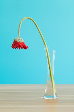 Wilted Gerbera in vase
