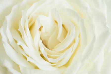 rosas blancas: Primer plano de la rosa blanca Foto de archivo