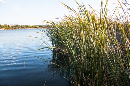 Autumn wetland reeds