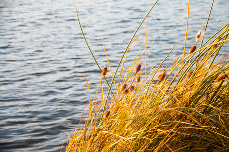 Close Up autumn reed