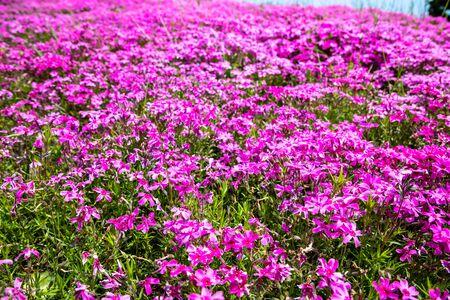 Close-up  pink flowers in garden