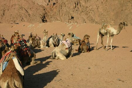 Camels in South Sinai Desert Stock Photo - 793069