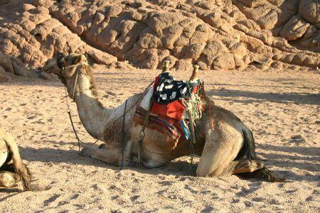 saddle camel: Camel in South Sinai Desert
