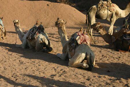 sinai desert: Camels in South Sinai Desert Stock Photo