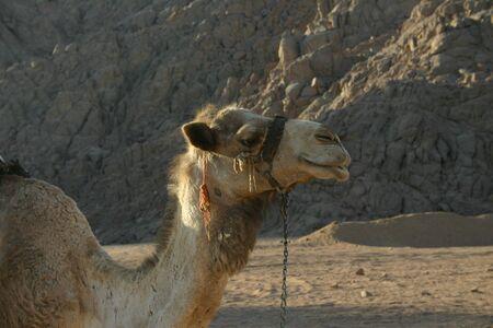 Camel in South Sinai Desert photo