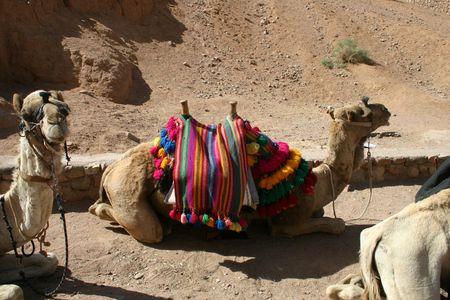 saddle camel: Camel Stock Photo