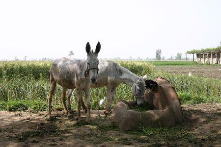 egret: 2 Donkeys & Egret