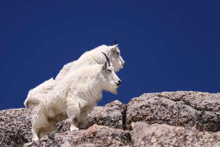 evans: Two Mountain Goats near Mt Evans, Colorado Stock Photo