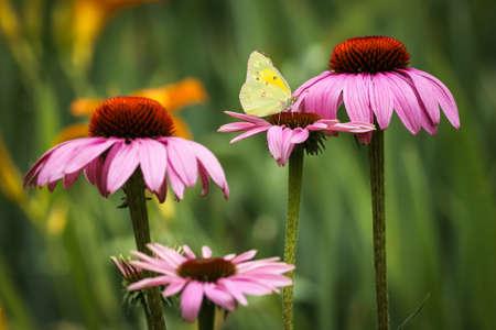 ピンクの花に黄色の蝶