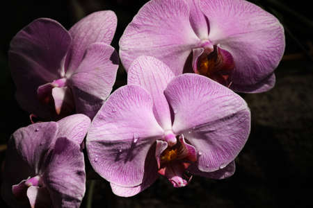 Pink Orchids against a dark background