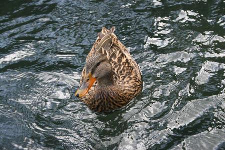 volatile: duck on the sea