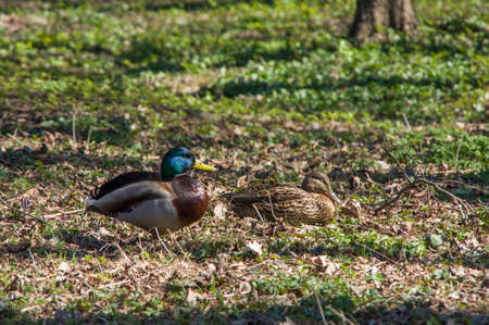 color image mallard duck: Wild duck and drake. The bird life in the city park. Stock Photo